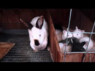 breeding-rabbits