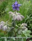 Gardening: Borage, a Companion Plant