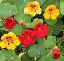Gardening: Nasturtium