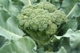Seed Saving: Brassia