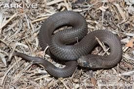 Harmless Black Snake