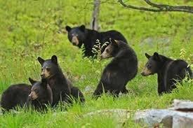 Berry Picking and Black Bears